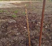 A-Row-of-blackcurrant-cuttings.-1