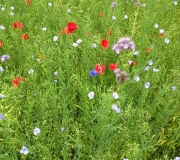 Johns-Delight-game-crop-in-full-flower.
