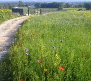 Passage-to-our-rearing-pen-with-sunflowers-undersown-with-wildflower-meadow-on-left-and-Johns-Delight-on-right.