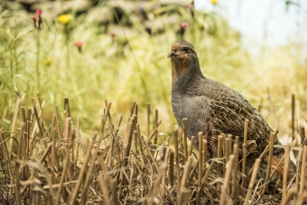 Partridge Rathcormac Game and Wildlife club